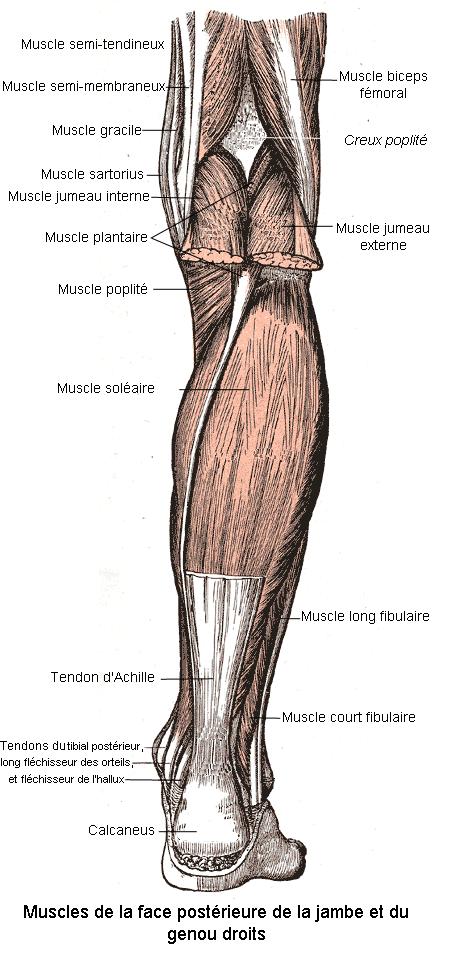 Muscles de la face posterieure de la jambe et du genou